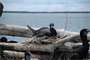 The Corps of Engineers has contracted a study of double-crested cormorant nesting sites on East Sand Island, located north of Astoria on the Washington coast.