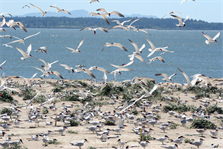 Caspian terns nest on East Sand Island near the mouth of the Columbia River. Terns and other birds consume millions of young salmon heading to the Pacific Ocean each year.