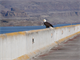 Visitors flocked to The Dalles Lock and Dam for the third annual Eagle Watch, Jan. 19 and 20, 2013. More than 30 eagles were seen roosting and